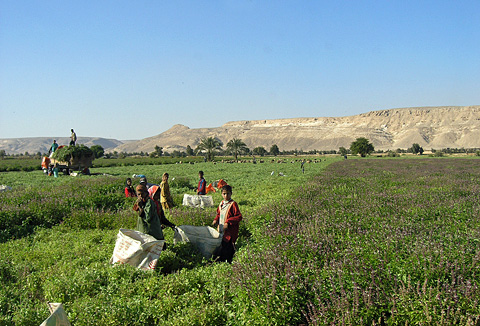 Harvesting Rehan at Deir el-Gabrawi