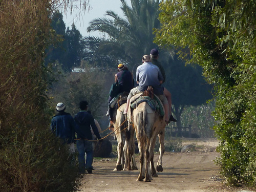Camels rides on the West Bank